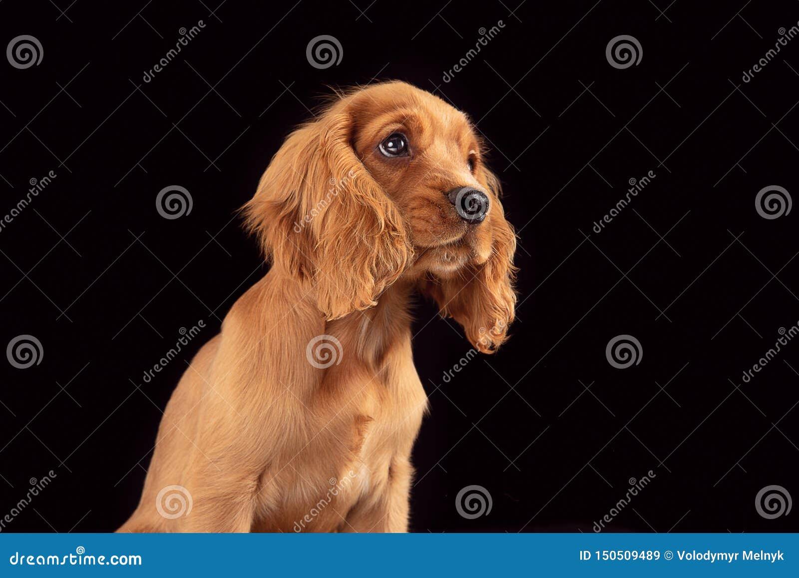 Studio shot of english cocker spaniel dog isolated on black studio background