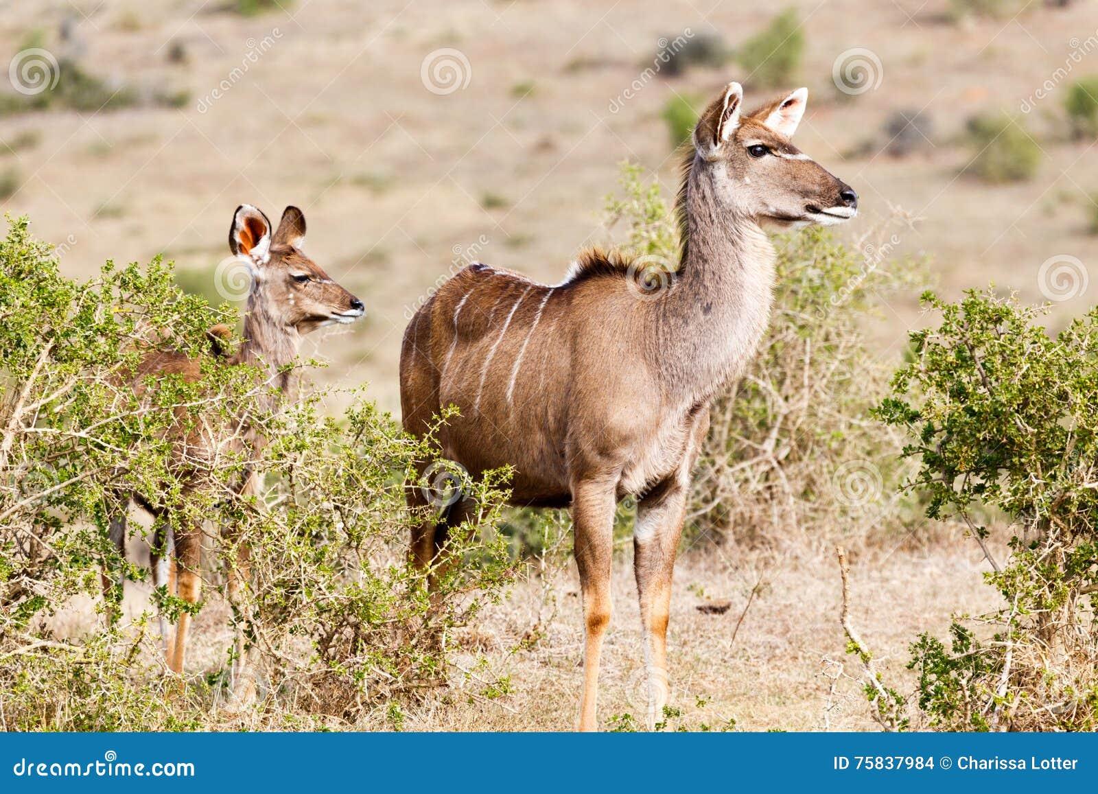 Donde vamos de aquí - Kudu femenino