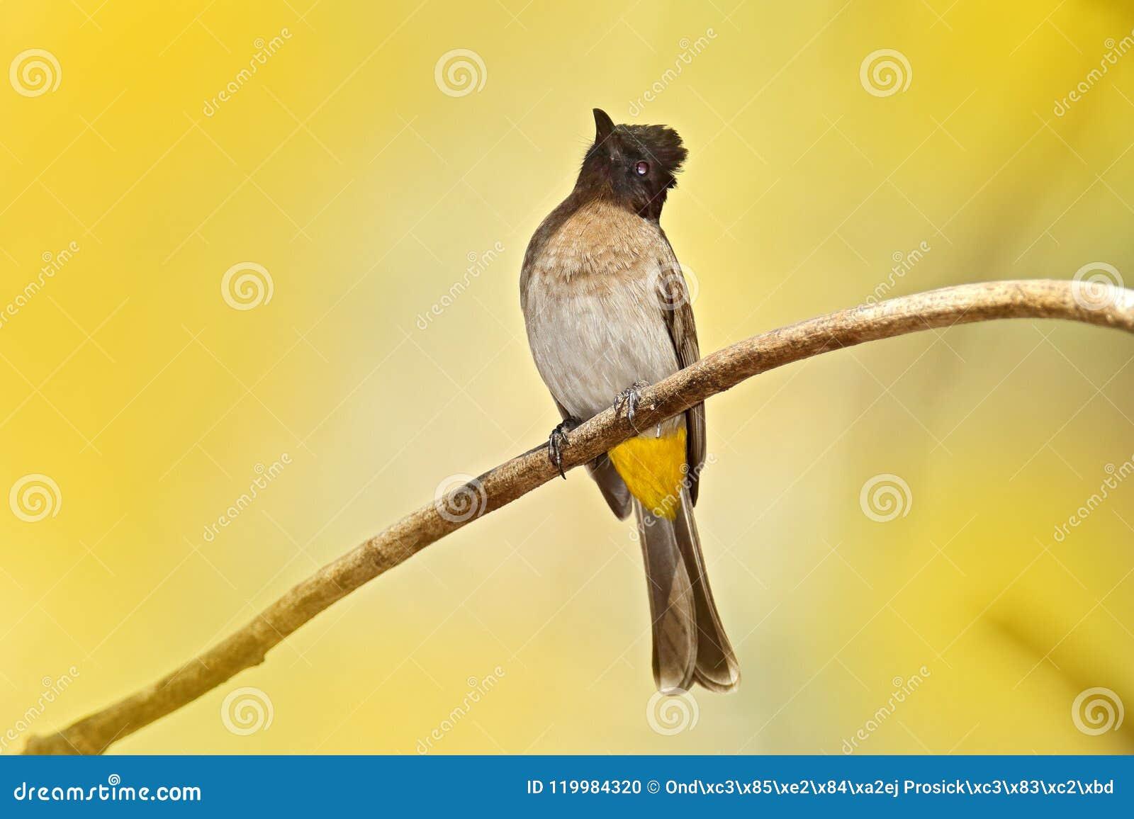 Donker-CDped bulbul Pycnonotus-tricolor, vogelzitting op de tak, donker-Caped bulbul, Pycnonotus-tricolor, vogelzitting op de zem