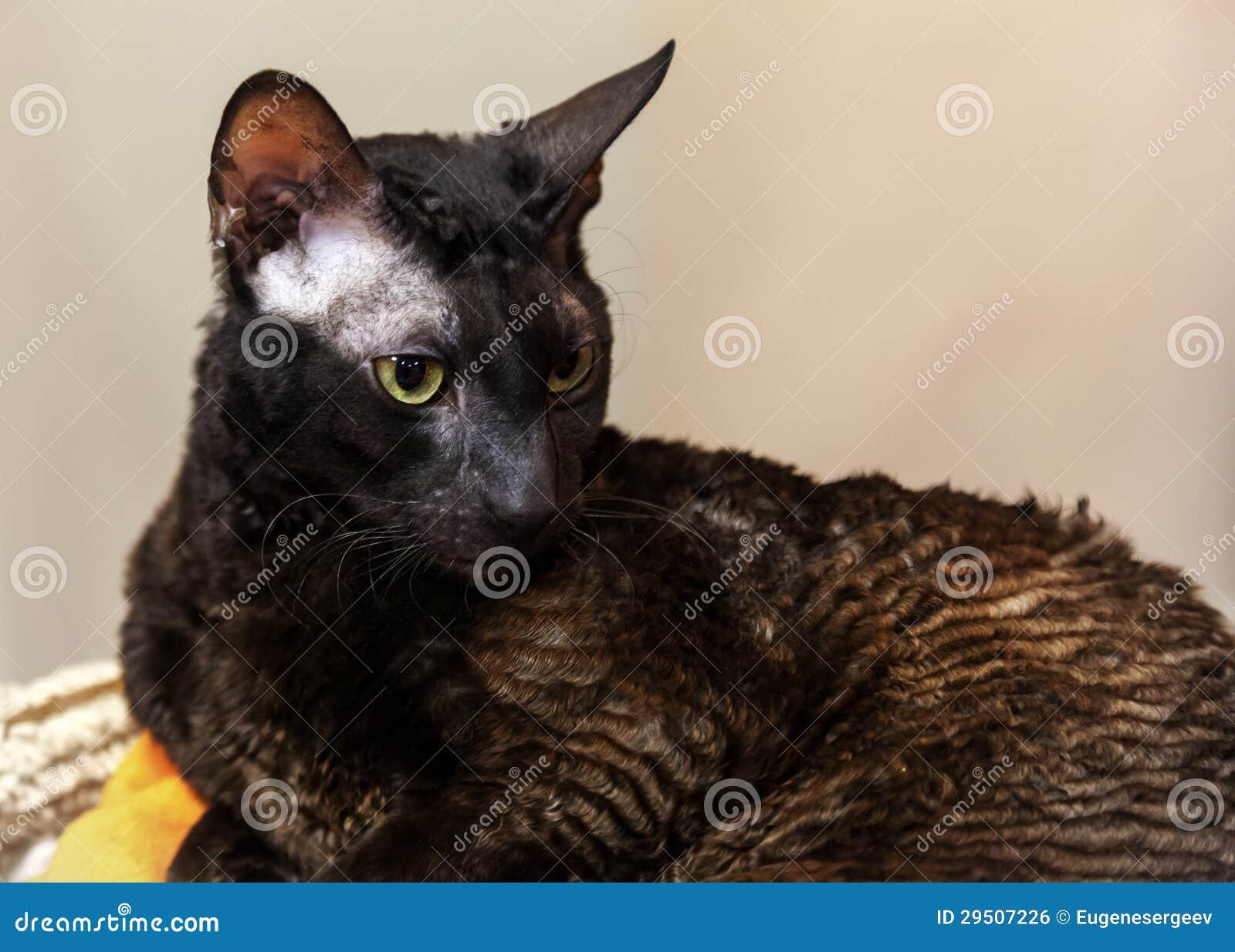Donkere binnenlandse kat Rex Van Cornwall