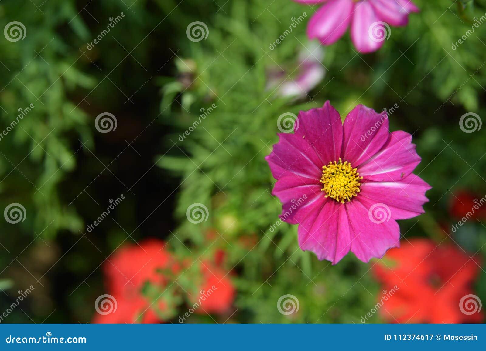 Donkere Roze Chrysant