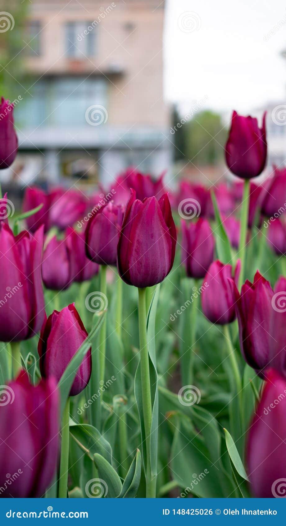 Donkere roze tulpen in het stadspark