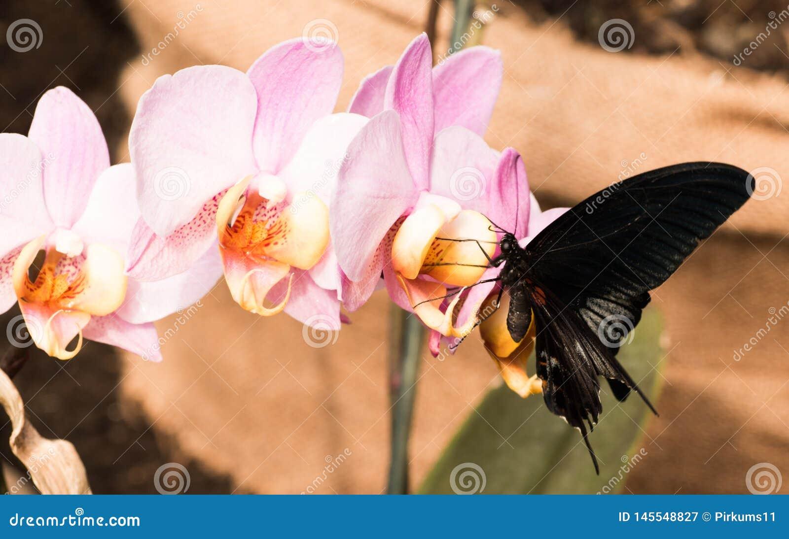 Donkere vlinder op orchideebloem