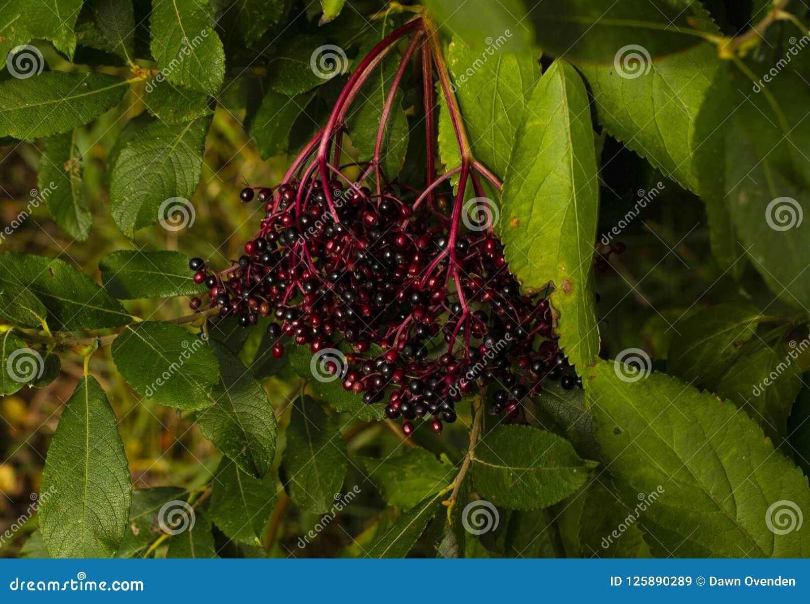 Donkerpaarse bessen en trillende groene bladeren