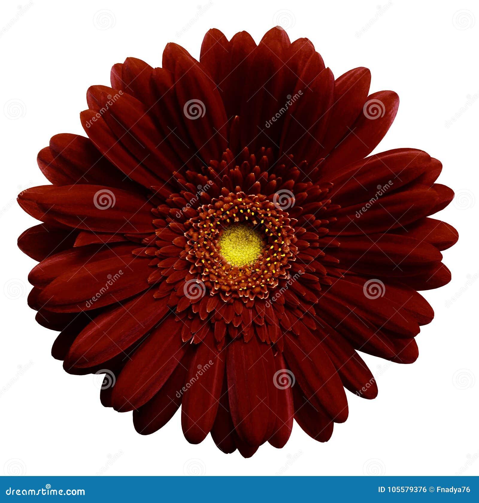 Donkerrode gerberabloem, wit geïsoleerde achtergrond met het knippen van weg close-up Geen schaduwen Voor ontwerp