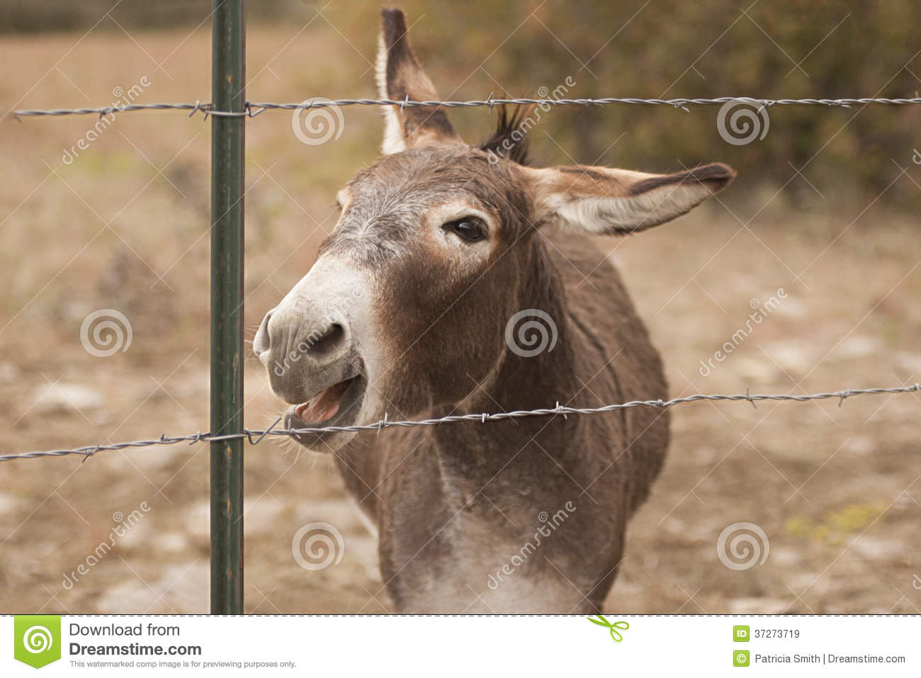 Portrait of a male jackass donkey braying behind a barbed wire fence.