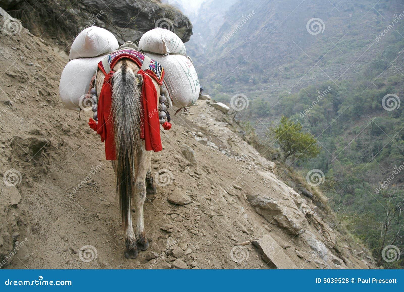 Donkey Carrying Heavy Loads, Annapurna Royalty Free Stock ...