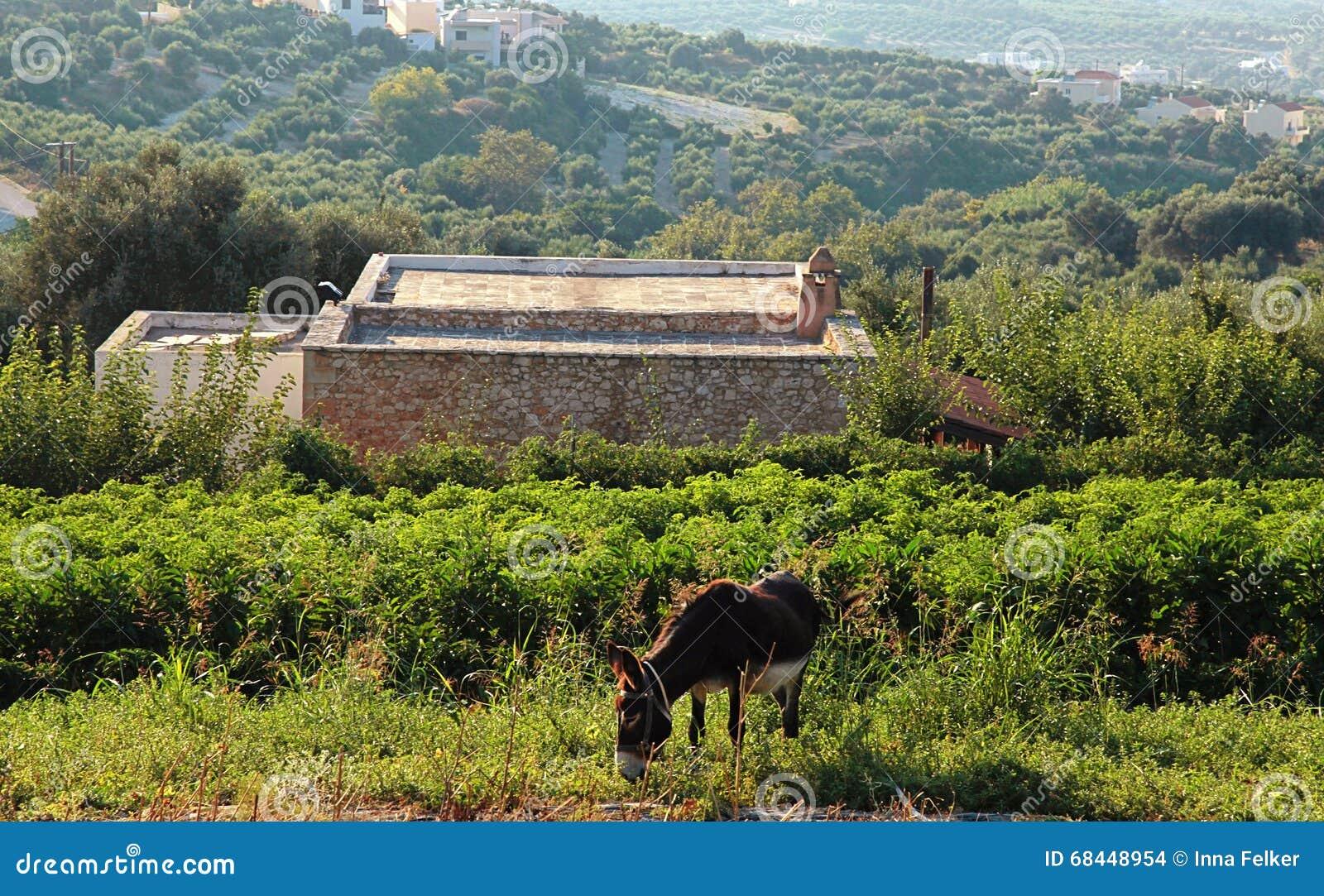 Donkey on countryside landscape, Crete, Greece