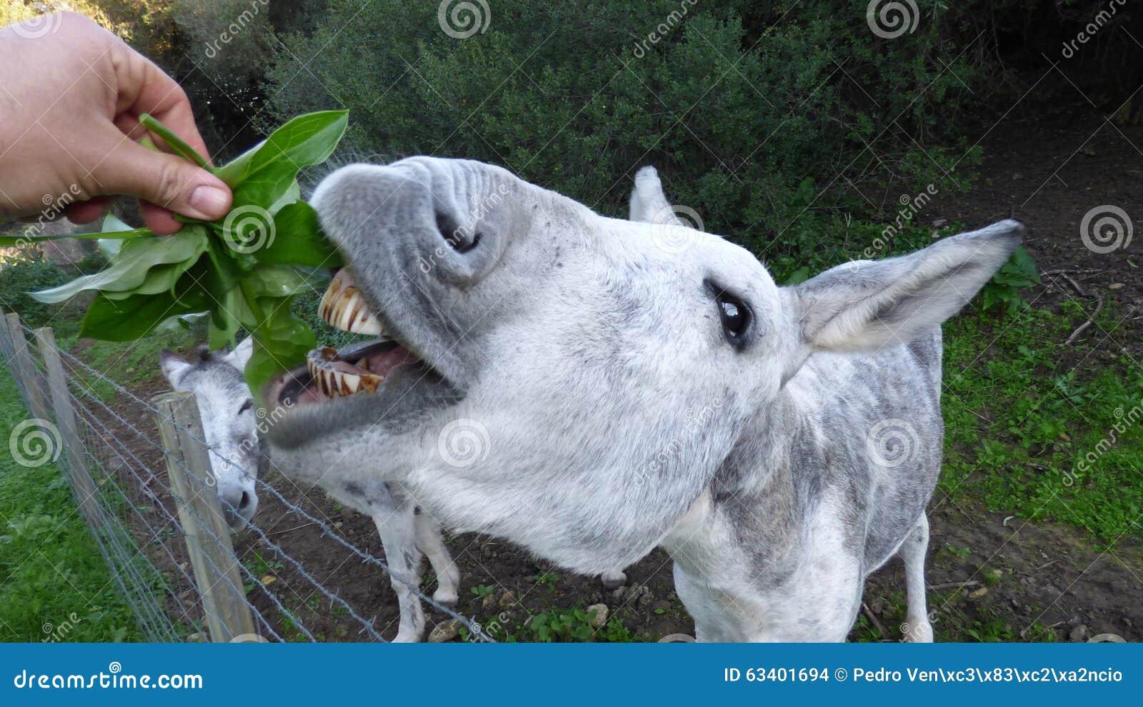 The donkey eating