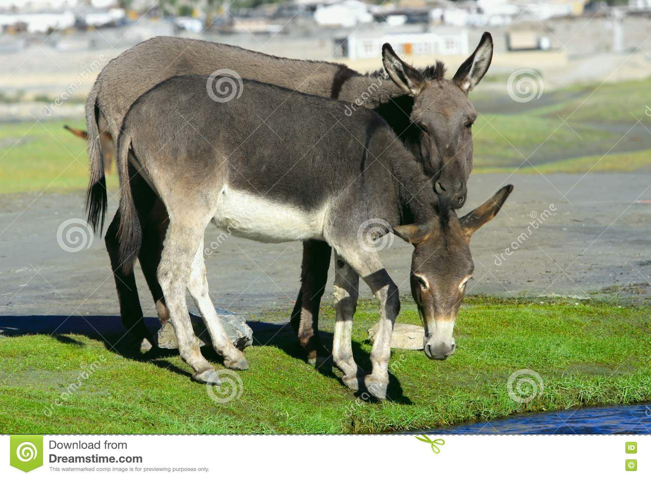 Farm donkeys - photo#19