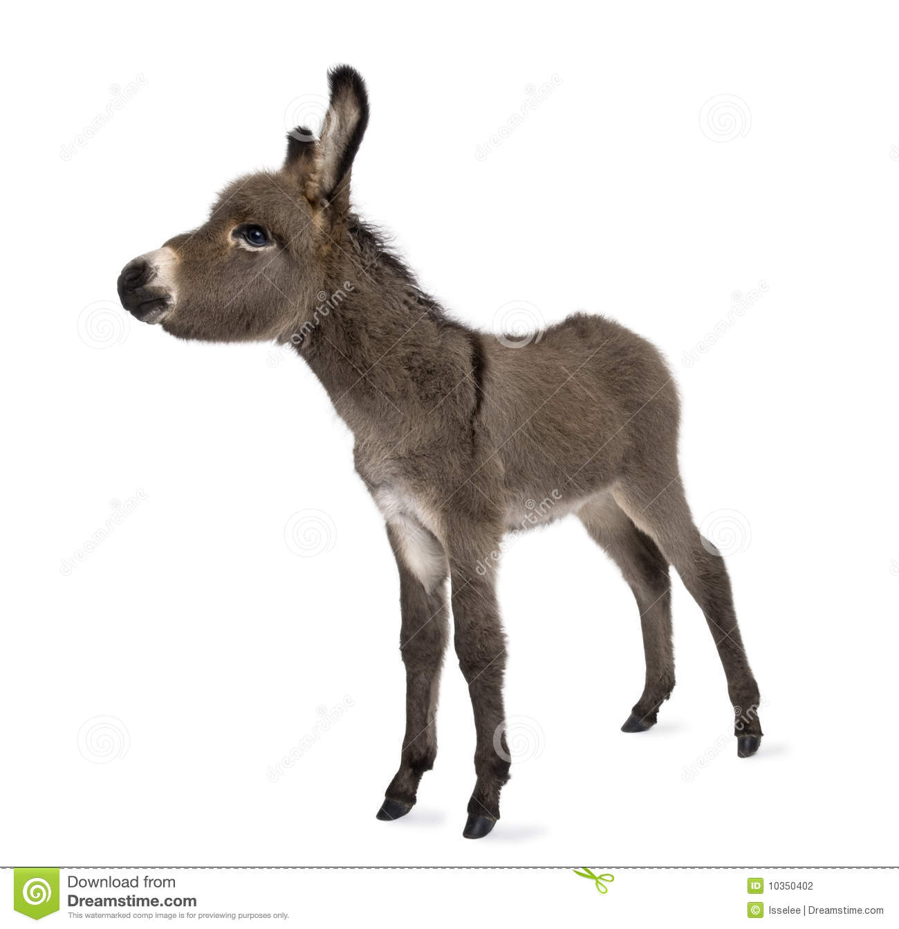 Donkey foal 2 months stock photo image of studio full for Burro blanco