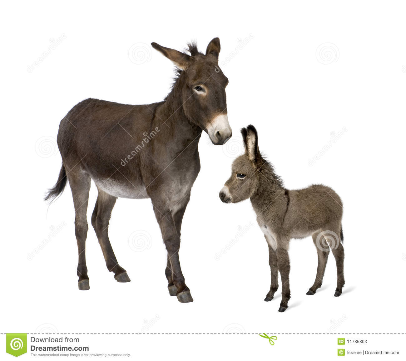Donkey and his foal against white background stock image for Burro blanco