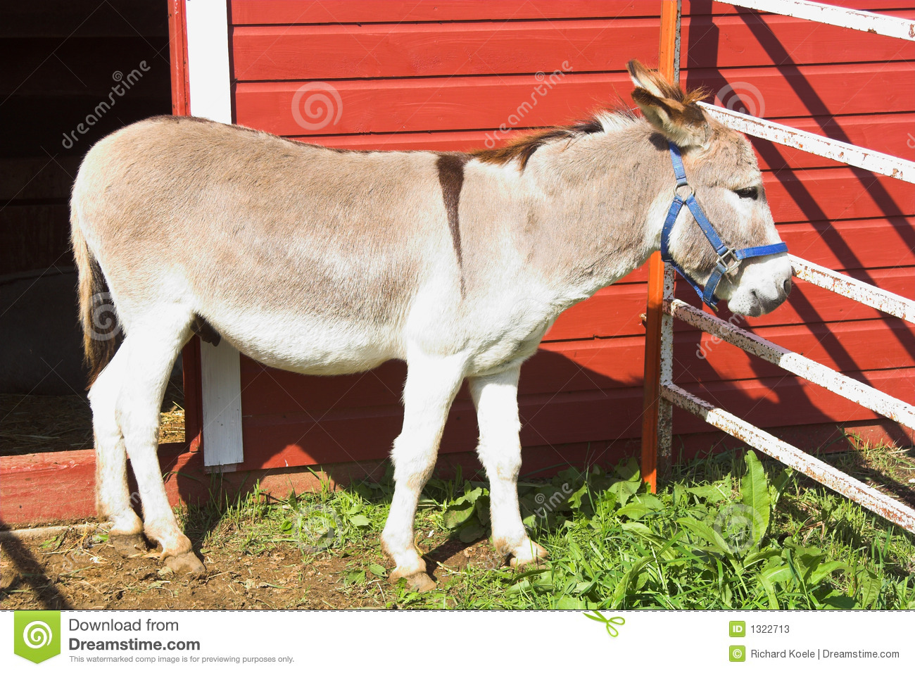 Donkey And Red Barn Stock Photos Image 1322713