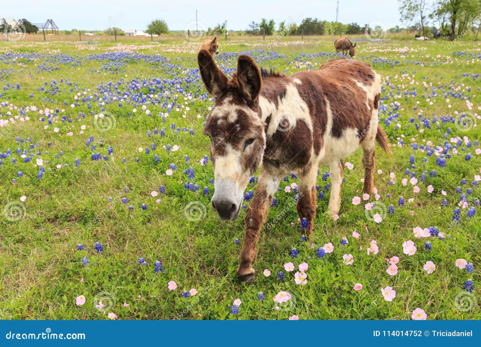 Donkey In Spring Flower Field Stock Photo Image Of Bluebonnet