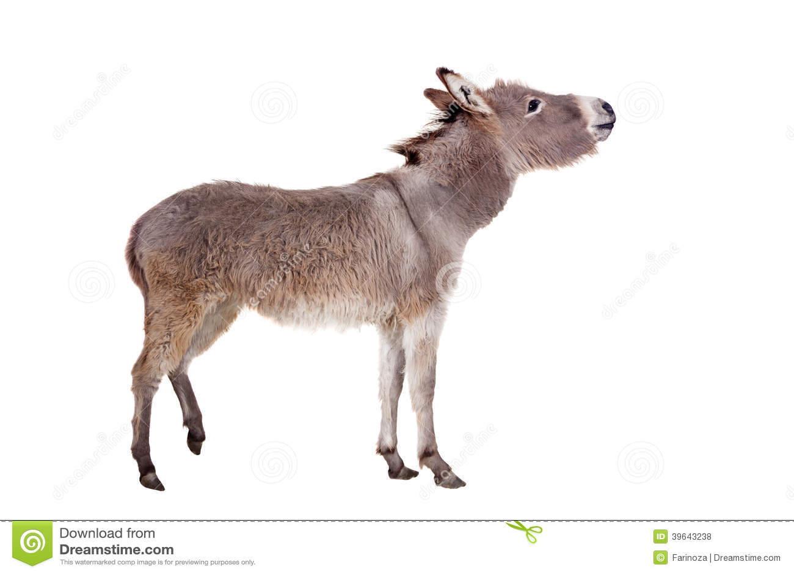 donkey on white stock photo  image of graze  mammal  farming