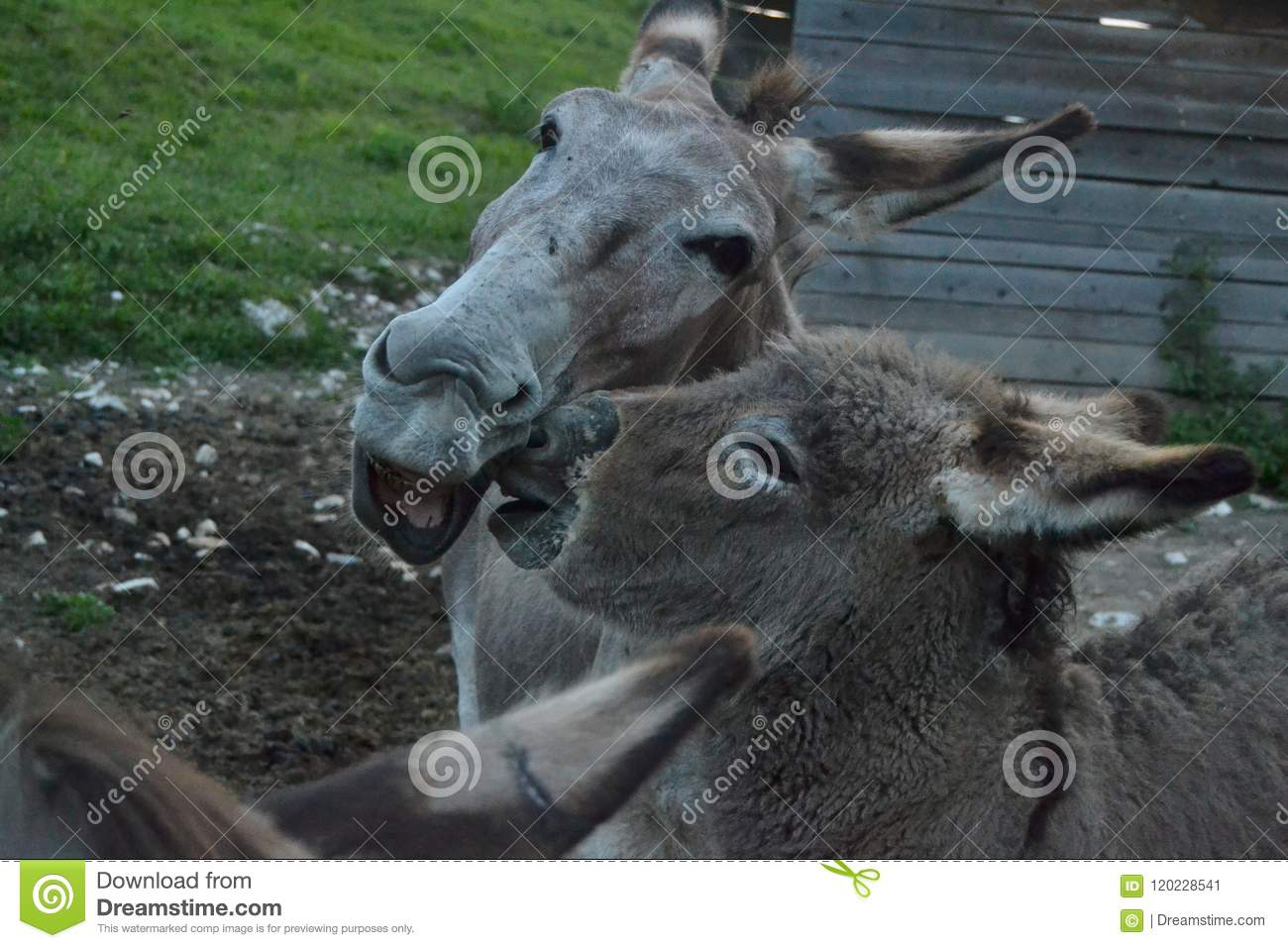 Donkeys in a farm situated in Ronchena (Veneto, Italy)