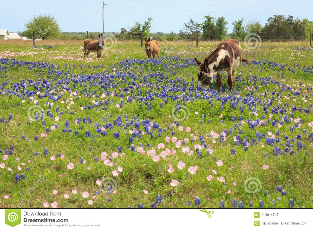 Donkeys In Spring Flower Field Stock Image Image Of Round