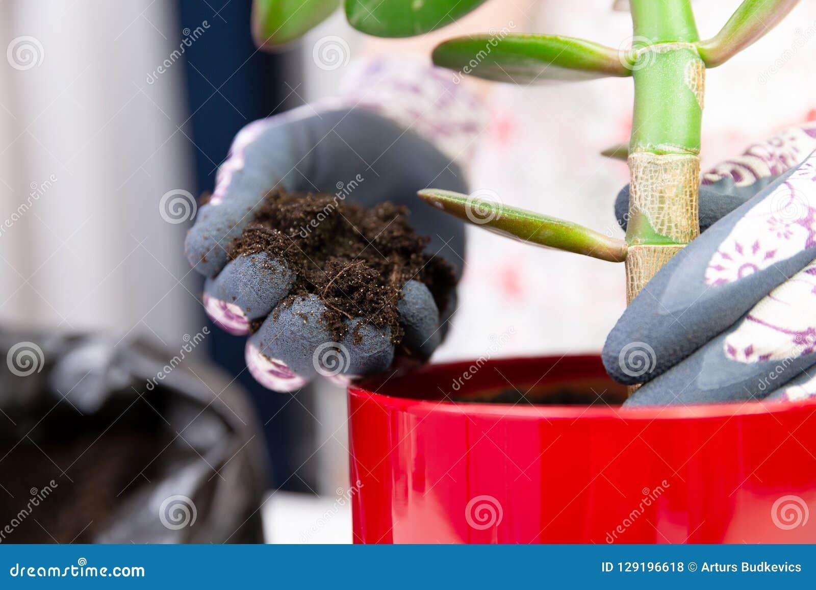 Donna che pianta una pianta in un vaso rosso con i guanti decorativi sviluppisi