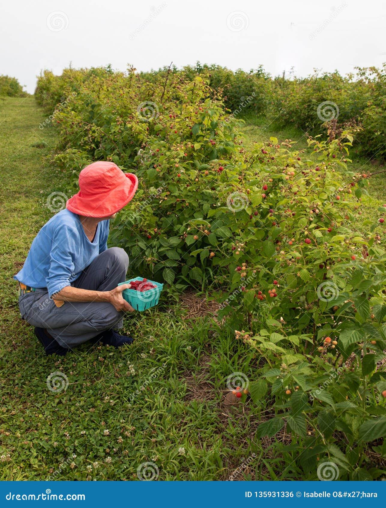 Donna più anziana snella in cappello rosa scuro che seleziona i lamponi in un frutteto