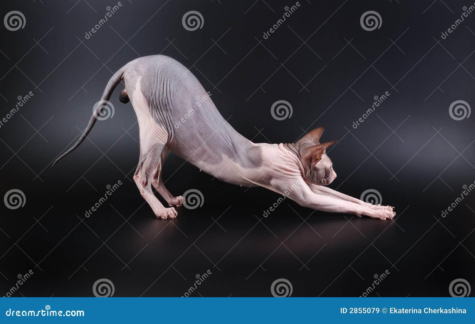 Donskoy sphinx för katt