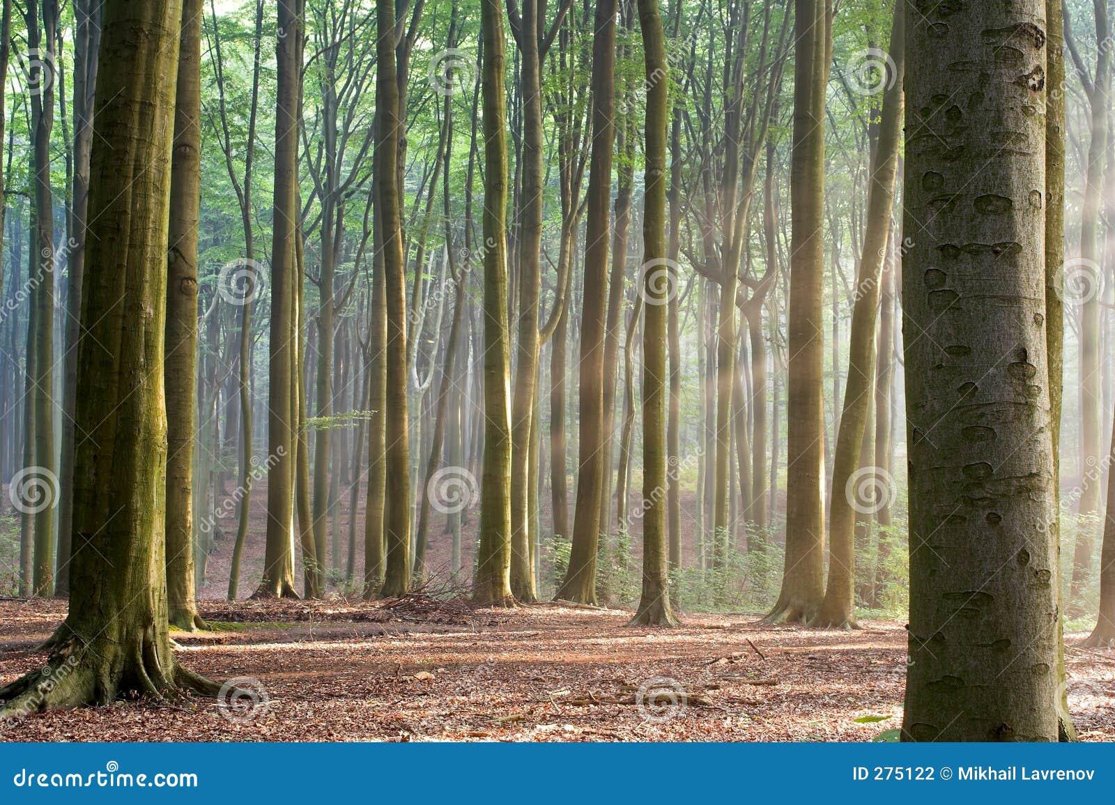 Door de Bomen - wazige bosochtend
