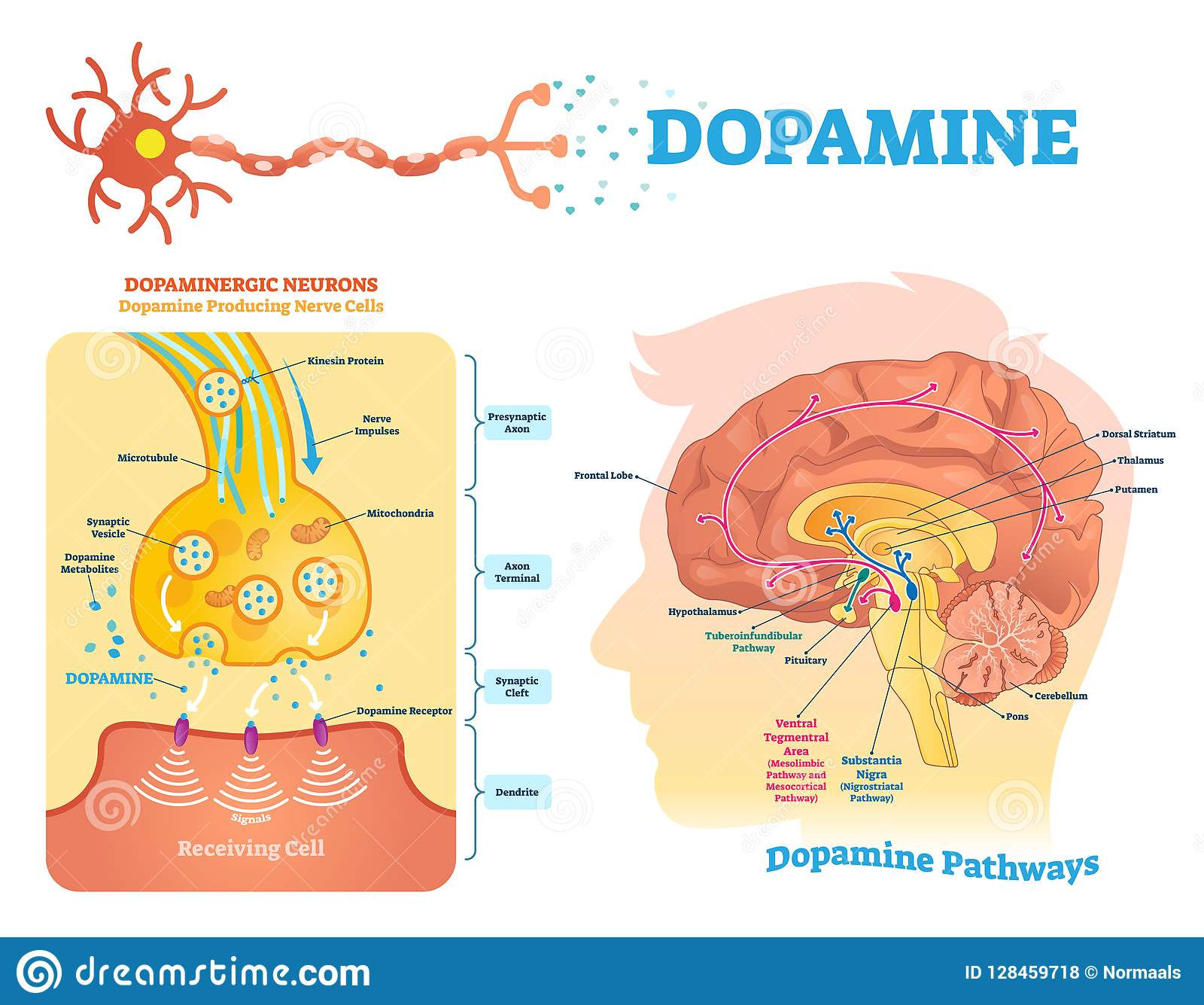 Dopamine vector illustration. Labeled diagram with its action and pathways.