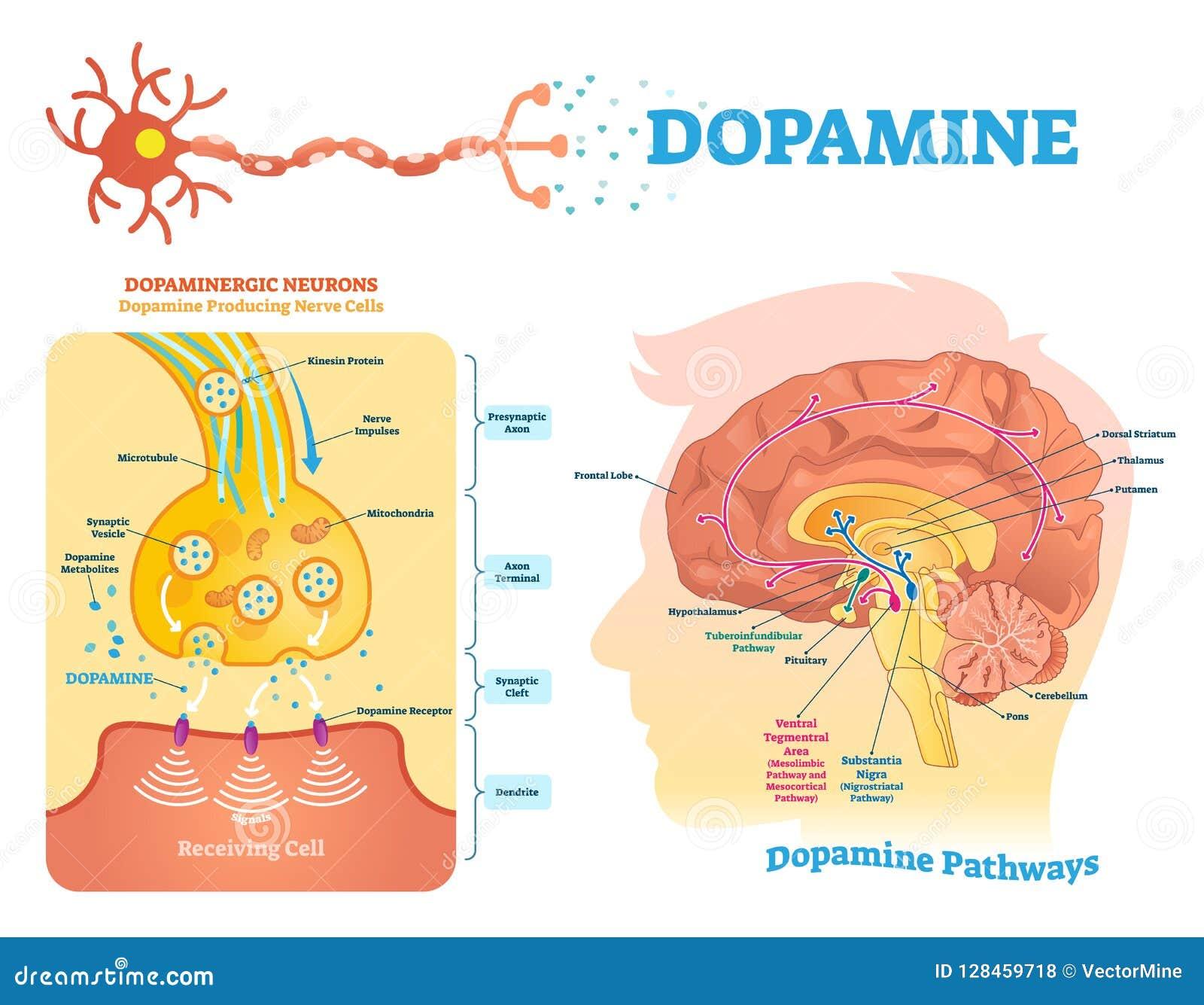 Dopamine vectorillustratie Geëtiketteerd diagram met zijn actie en wegen