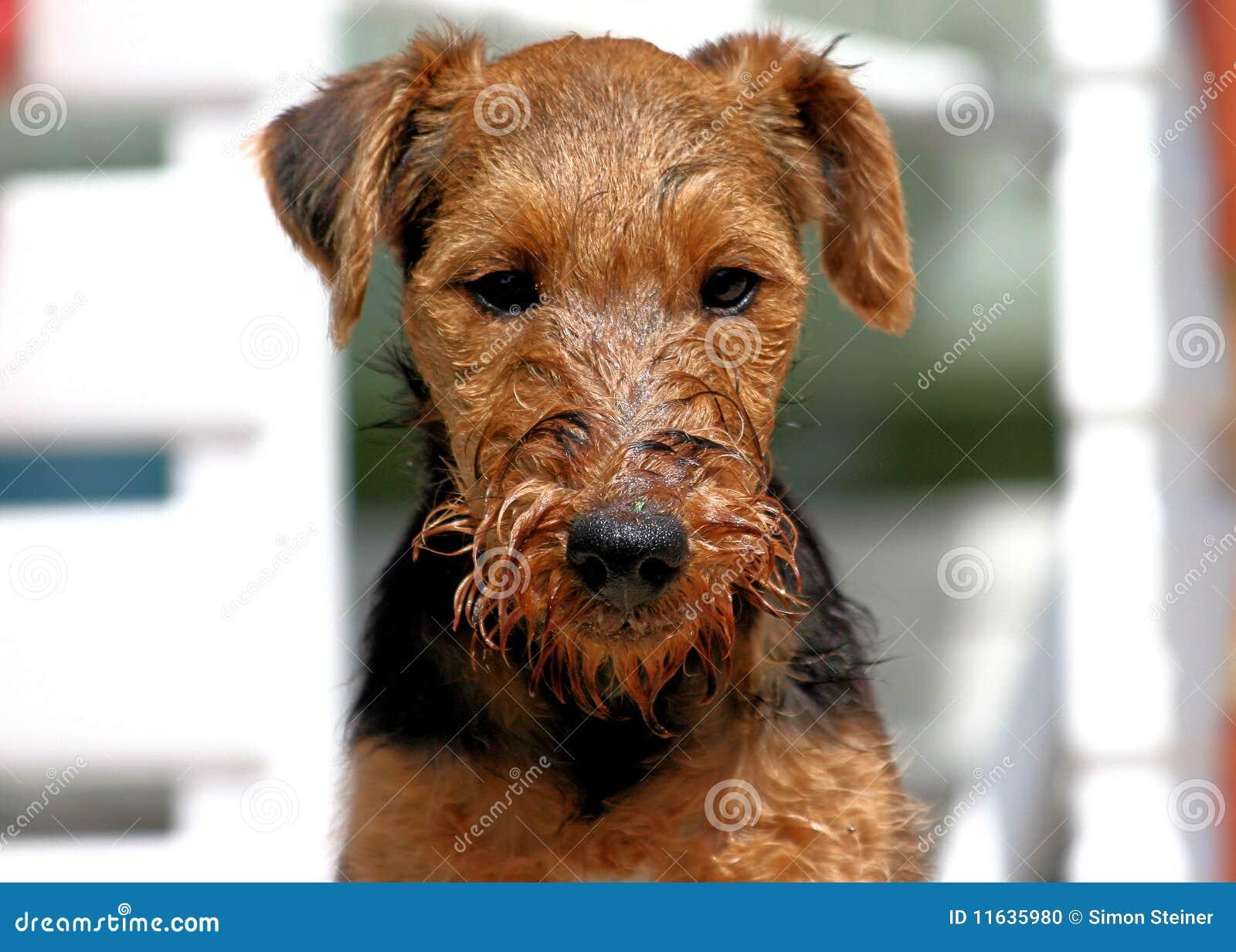 Dopo il bagno fotografia stock immagine di ciotola welsh 11635980 - Bagno cane dopo antipulci ...