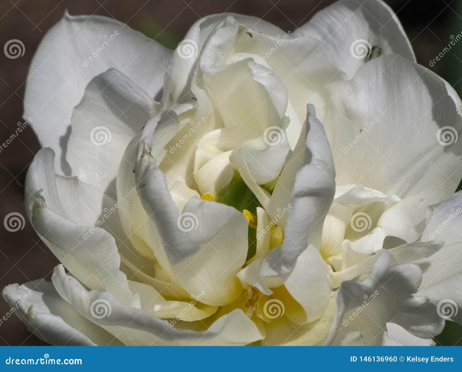 Doppelte wei?e Tulip Detail im Sonnenlicht
