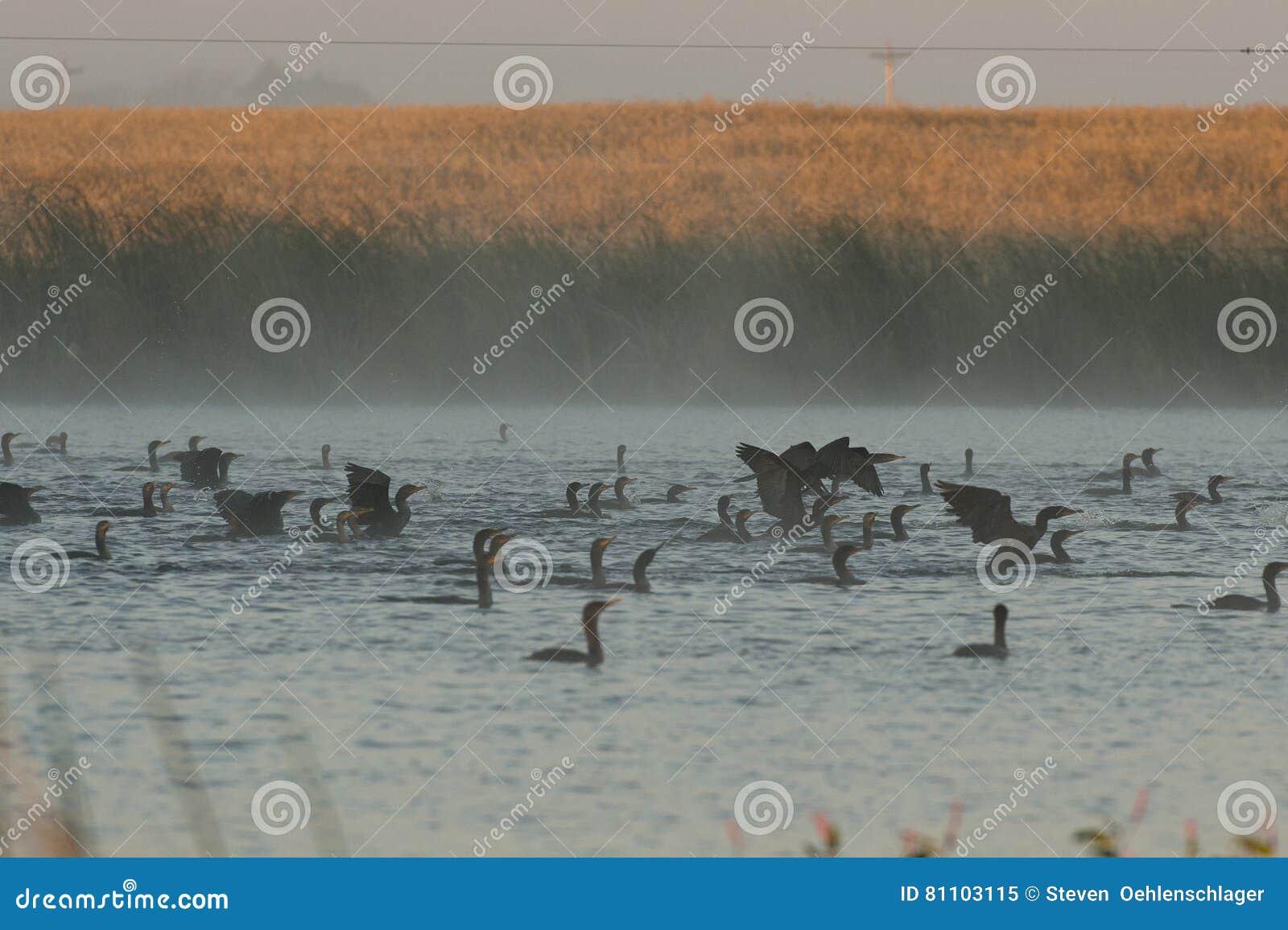 Doppi cormorani crestati