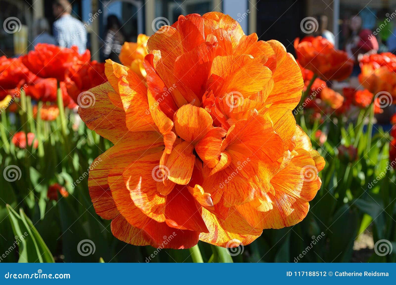 Doppia Rose Tulip, fine su