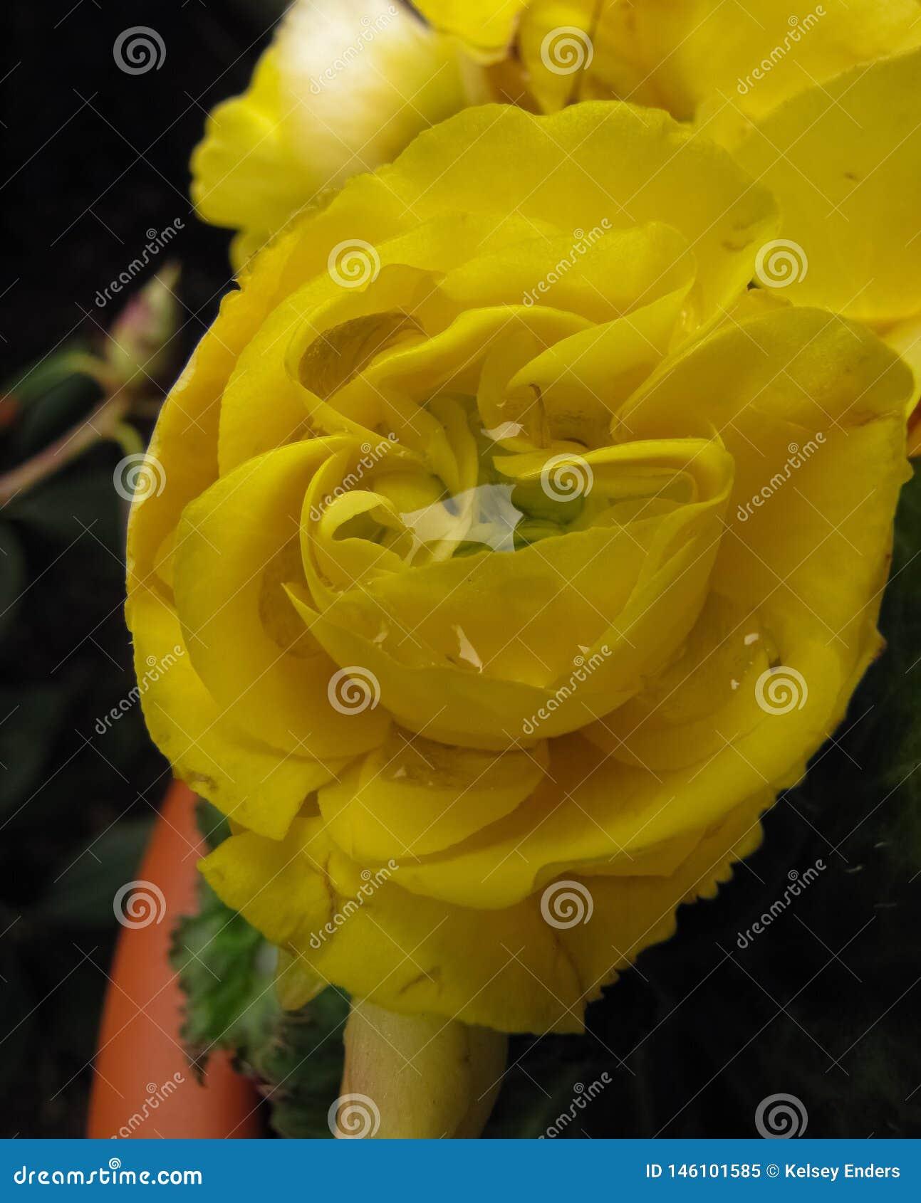 Doppio giallo Impatien con il centro 2 della gocciolina della pioggia