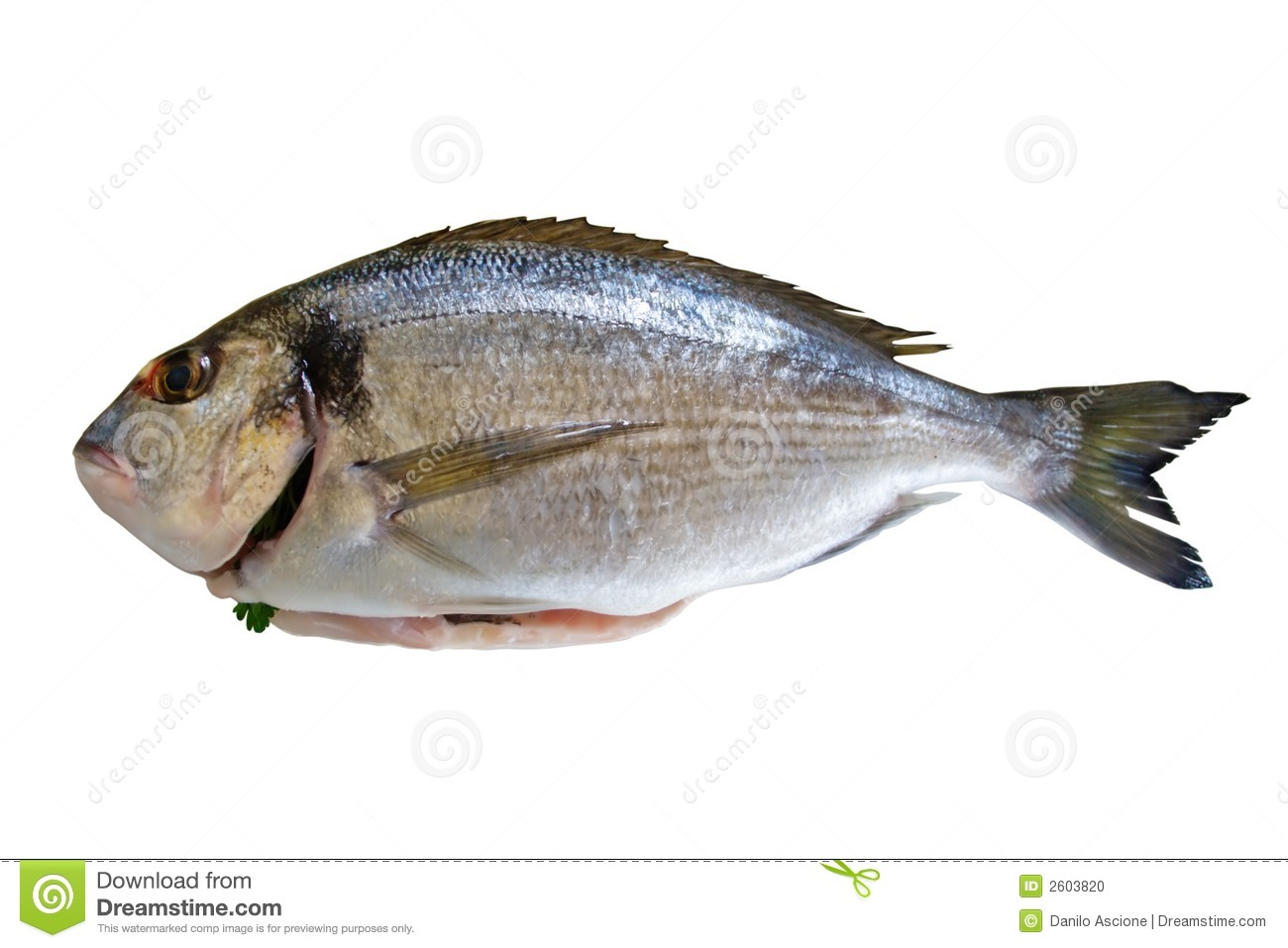 Dorada fish stock photo image of caught animal dorada for Image of fish