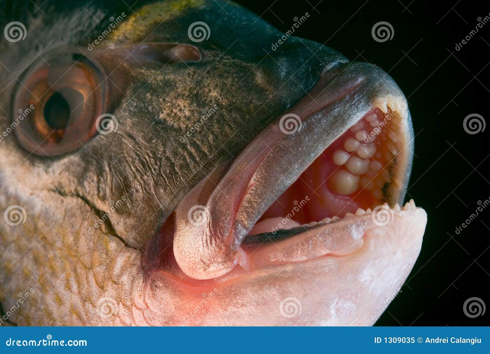 Dorada fish head royalty free stock photo image 1309035 for Fish head app