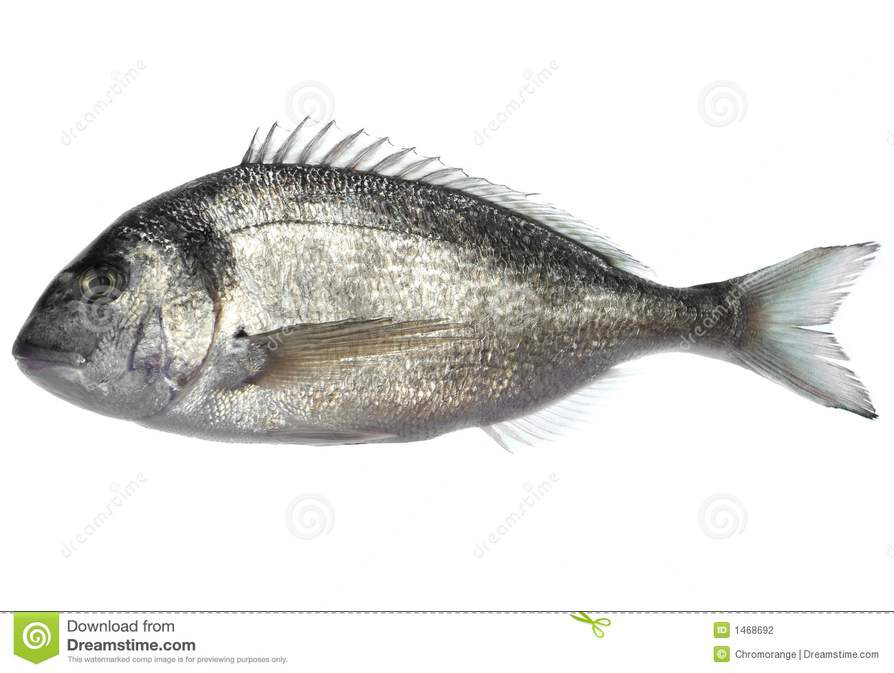 Dorade fish stock photo image of white auratus for Image of fish