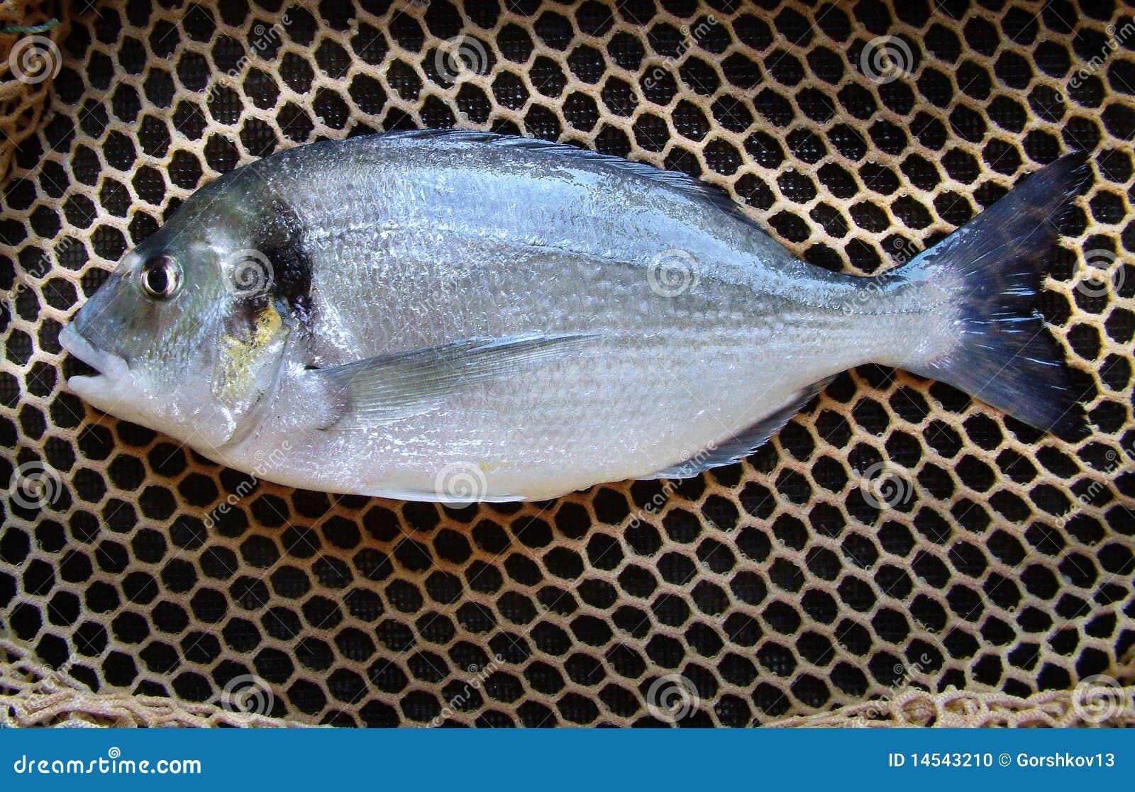 Dorade popular marine cultured fish stock photo image for Popular saltwater fish