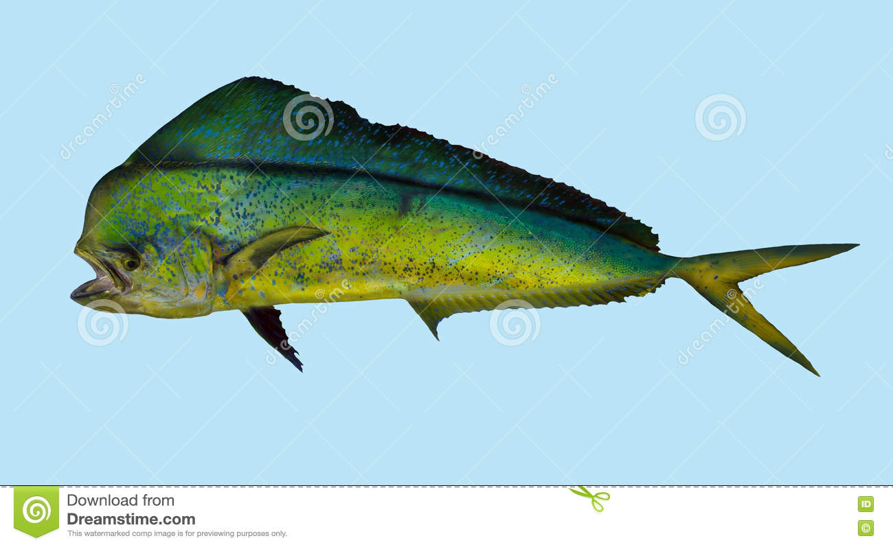 Mahi Mahi Dorado Dolphin Fishing Portrait Stock Photo ...
