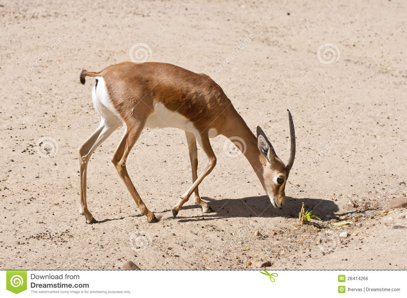 Gazelle - the animal of the steppes and deserts 23