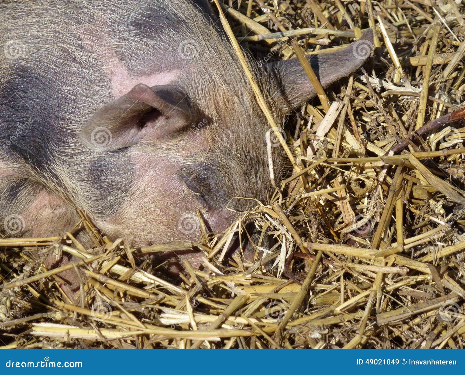 Dormendo porcellino chiazzato e rosa nella paglia