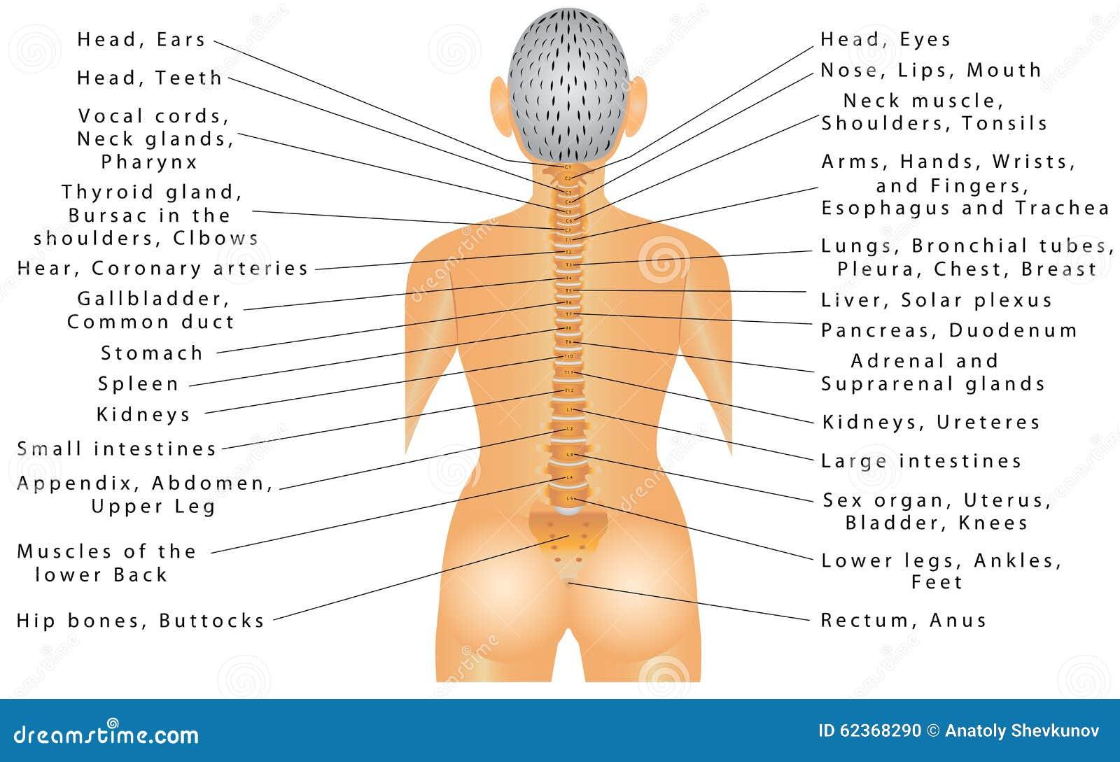 Ungewöhnlich Alle Organe Im Menschlichen Körper Ideen - Menschliche ...