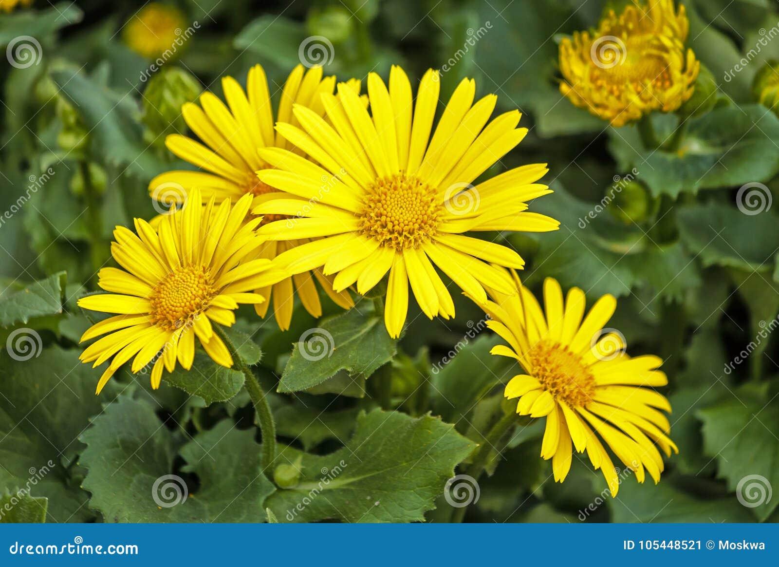 Doronicum Orientale Yellow Daisy Like Flowers Stock Image Image