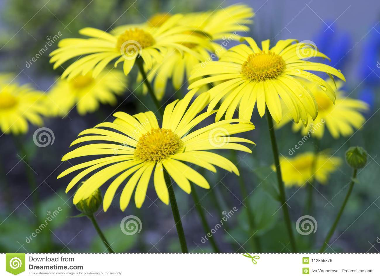 Group Of Doronicum Orientale Yellow Flowers In The Garden In Spring