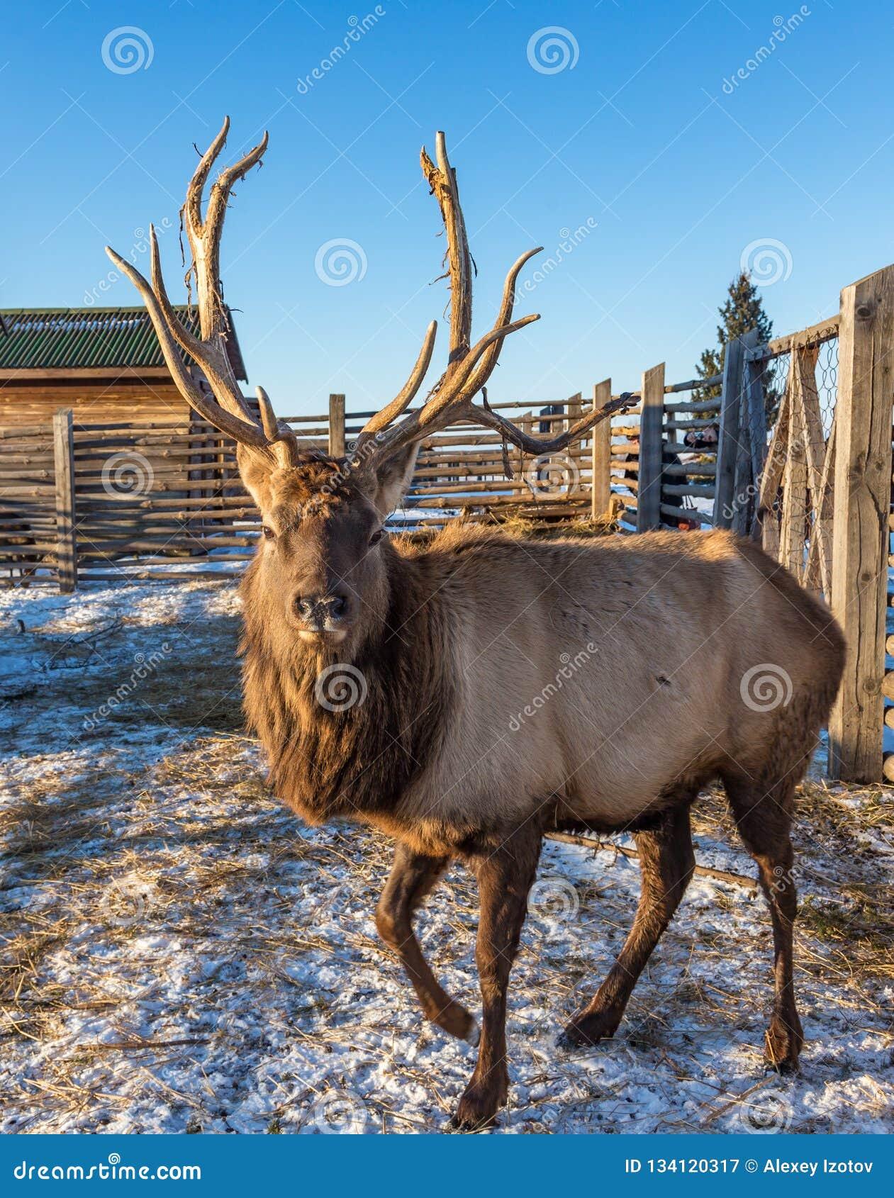 Dorosła maral samiec z dużymi rogów stojakami w piórze, Altai, Rosja