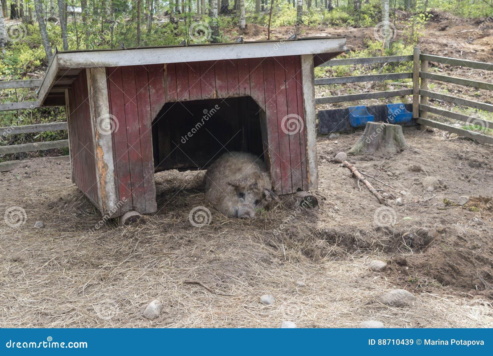 Dorosła Wielka świnia w drzwi bezpłatny pasma schronienia dosypianie w zoo