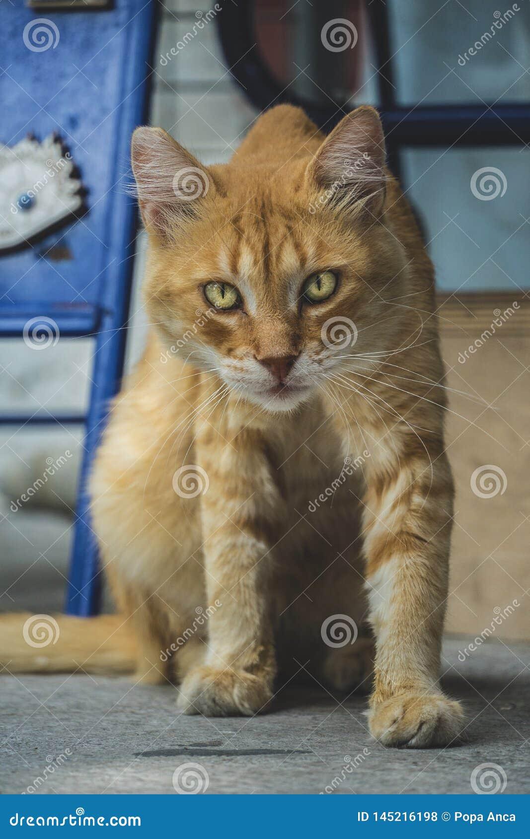 Dorosłego tabby przybłąkany pomarańczowy kot z złotymi oczami, patrzeje ciekawy przy kamerą