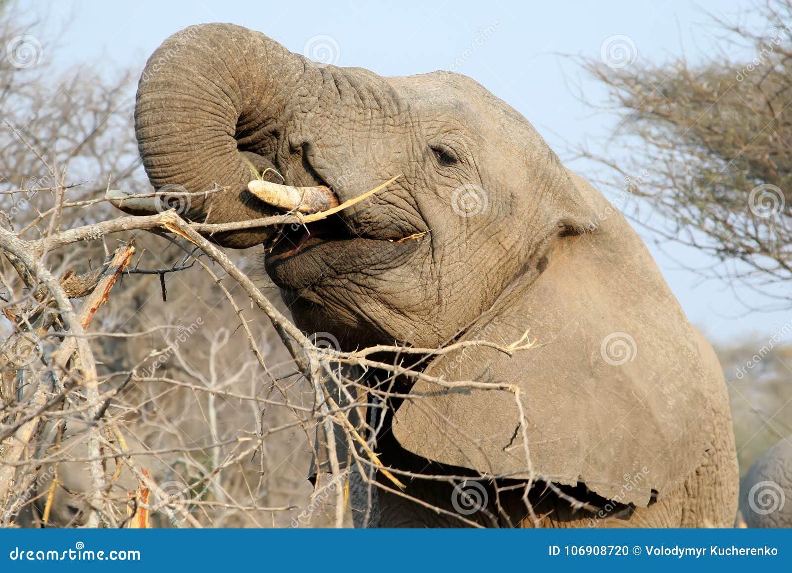 Dorosły afrykański słoń je gałąź
