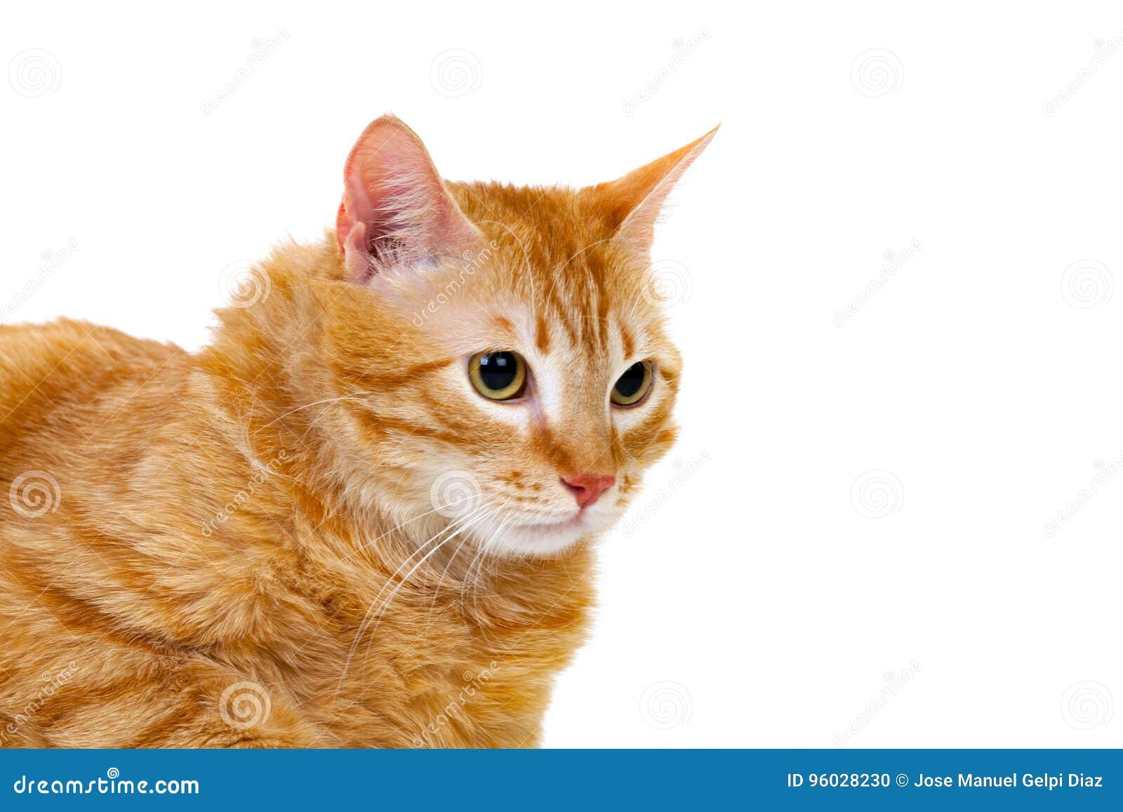 Dorosły czerwony kot z nadważy