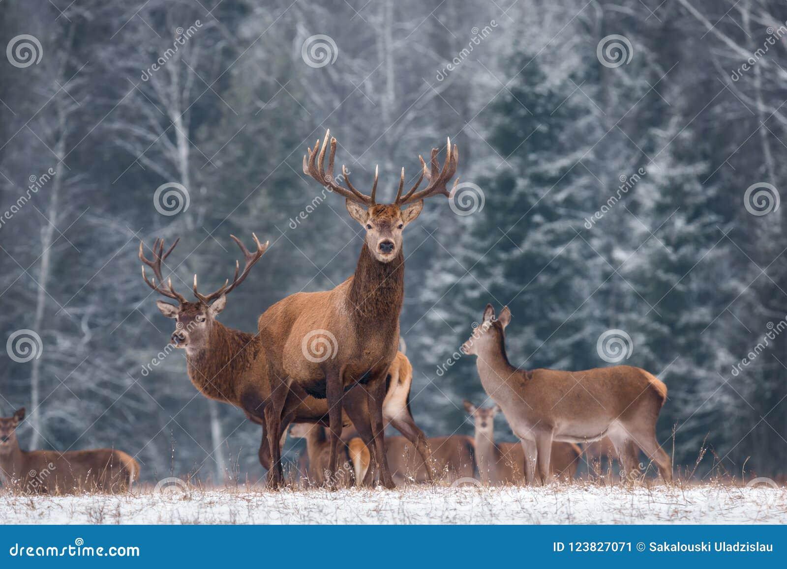 Dorosły Jeleni jeleń Z Dużymi rogami W Pięknej pozie Na krawędzi zimy samiec Lasowego Wielkiego Jeleniego Cervidae