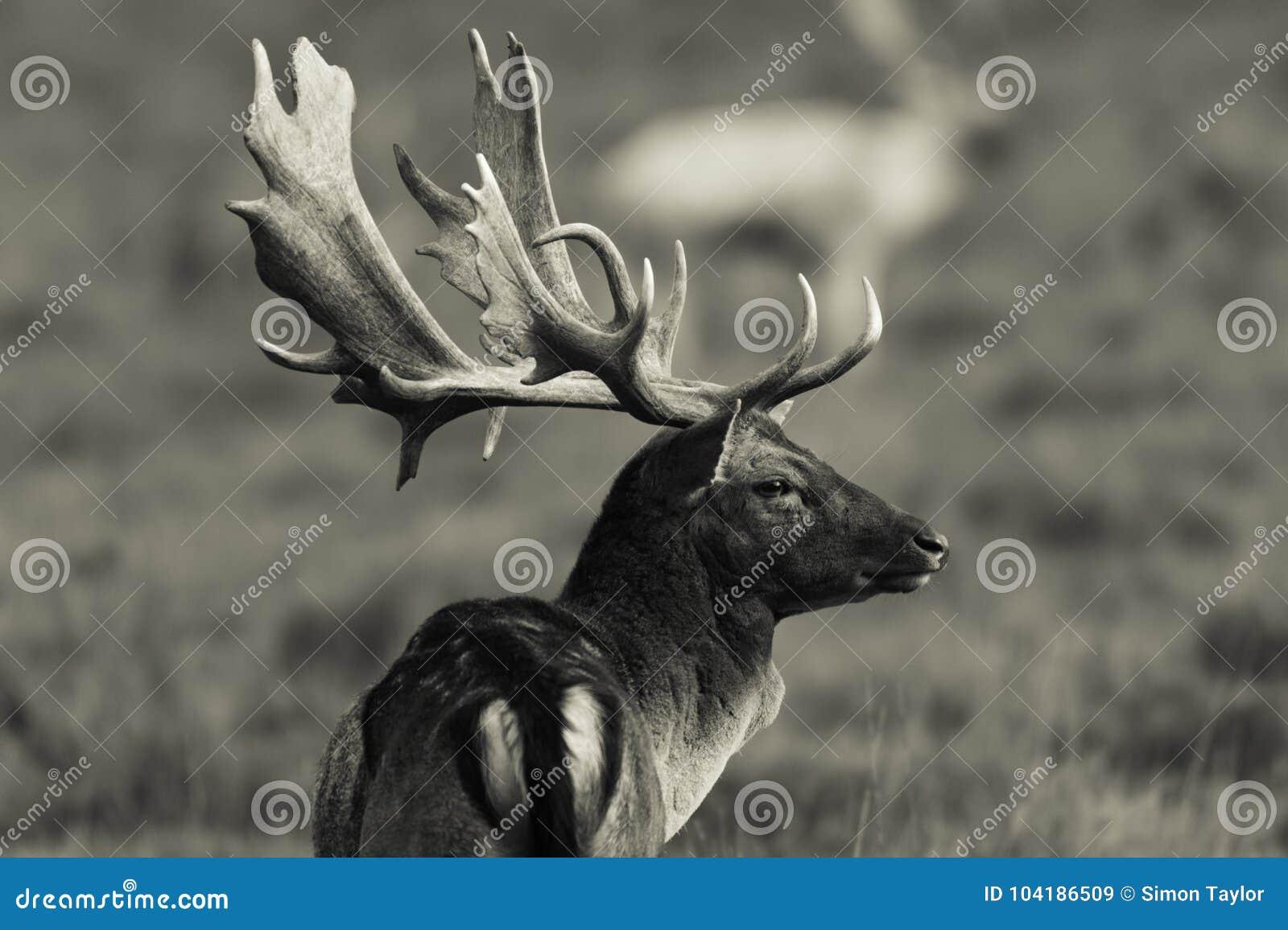 Dorosły rogacz - w pełni r jeleń