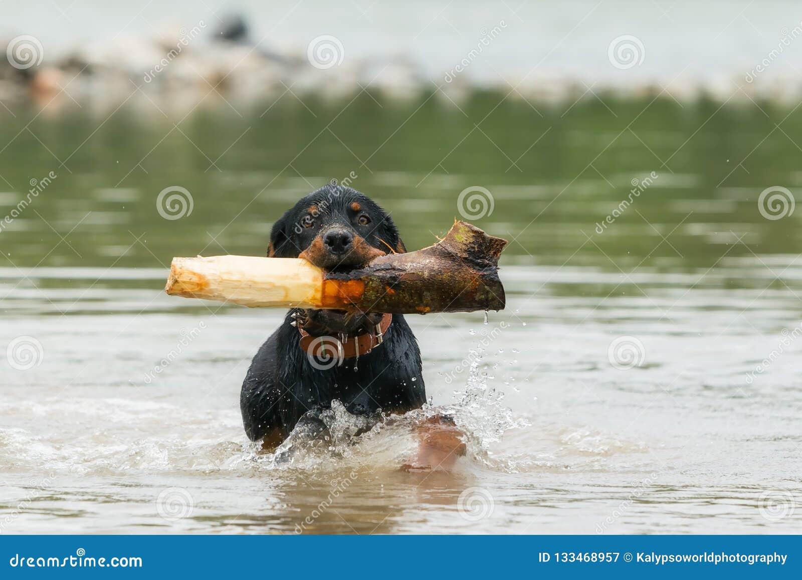 Dorosły Rottweiler Bawić się W rzece